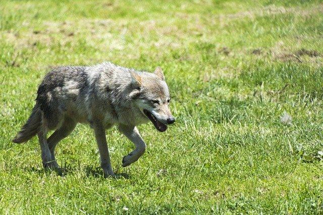 chůze vlka