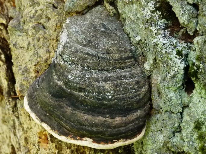 houba, která parazituje na stromě